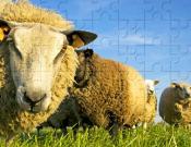 Sheep Jigsaw